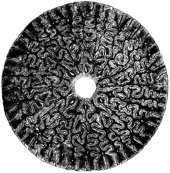 Labyrinthodon_Mivart