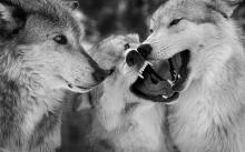sed como lobos