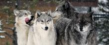 lobos fiesta